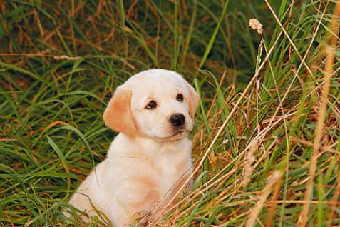 Hund - Wikipedia, den frie encyklopdi